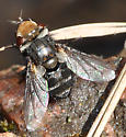 First spring fly, a tachinid - Gonia