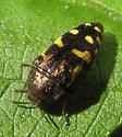 Is this a Acmaeodera? - Acmaeodera pulchella