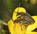 Mating Flower Longhorn Beetles - Cortodera - male - female