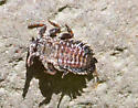 unknown larva - Timpanoga hecuba