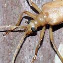 Pale Beetle - Centrodera spurca
