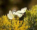 Male and Female Clouded Sulphur - Colias philodice - male - female