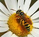 Bee Wolf - Philanthus crabroniformis - male