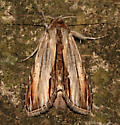 Noctuidae, Brown Hooded Owlet - Cucullia convexipennis