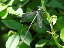 Slender Spreadwing Damselfly - Lestes rectangularis - male