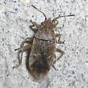 Plant bug? - Stictopleurus
