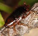 wood roach nymph - Parcoblatta
