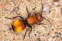 velvet ant - female
