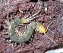 Green Centipede - Hemiscolopendra marginata