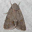 moth unknown - Acronicta tritona