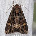 Hodges#9348, Apamea amputatrix, Yellow-headed Cutworm? - Apamea amputatrix