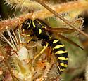 Wasp - Pseudomasaris