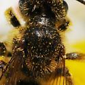 Thorax - Andrena - female