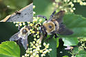 Confused about carpenter bees - Xylocopa virginica