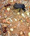 Eleodes tricostatus (Say) - Eleodes tricostata