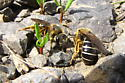Sweat Bee - Halictus rubicundus