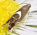 sedge moth - Diploschizia impigritella