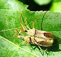 Leafhopper Assassin Bugs - Zelus renardii - male - female