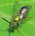Sweat Bee #2