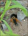 Digger Wasp at Burrow - Sphex ichneumoneus - female