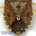 Euschistus servus - female