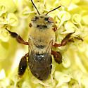 Centris sp - Centris rhodopus - female