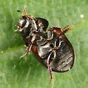Water Scavenger Beetle - Paracymus confluens