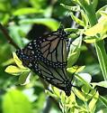 Nymphalidae: Danaus plexippus - Danaus plexippus - male - female