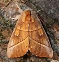 White-dotted Prominent - Hodges#7915 (Nadata gibbosa) - Nadata gibbosa