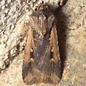 unknown Noctuidae - Feltia subterranea