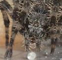 Bathroon Spider with Egg Mass - Araneus gemmoides - female