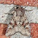 Rusty Shoulder-knot - Apamea sordens