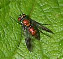 fly?  - Condylostylus patibulatus - female
