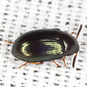 Darkling Beetle - Neomida bicornis - female