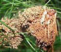 Pine Webworm Frass Nest (?) - Pococera robustella