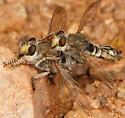 robber flies - male - female