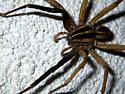 Rabidosa rabida (Rabid Wolf Spider) ? - Rabidosa - female