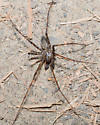 Male long-legged spider on ground - Calymmaria - male