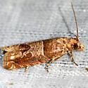 Hebrew Sonia Moth - Sonia paraplesiana