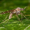 Unknown Fly - Sylvicola