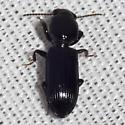 Ground Beetle - Clivina dentipes