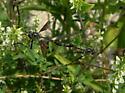 wasp - Systropus angulatus