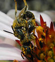 Small bees mating - Pseudopanurgus - male - female