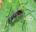 Taeniaptera trivittata