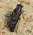 black fly - Ozodiceromyia nigrimana - female