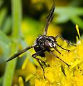 Tachinidae - Cylindromyia? - Cylindromyia signatipennis
