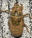 Muddy cicada - Megatibicen auletes