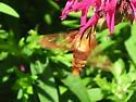 hummingbird moth ? - Hemaris thysbe