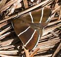 Four-Lined Chocolate Moth (Argyrostrotis quadrifilaris) - Argyrostrotis quadrifilaris