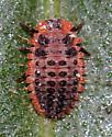 Vedalia Beetle Larvae - Rodolia cardinalis